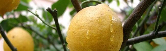 lemon on tree Presse Citron, le jeu !