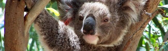 Ubuntu mascott Karmic Koala