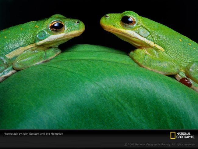 green frogs eastcott momatiuk 394758 sw Les fonds décran du National Geographic