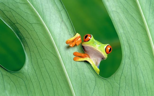 Frog Télécharger les fonds décran de Mountain Lion OSX