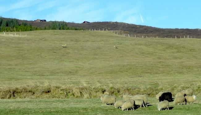 moutons LIslande