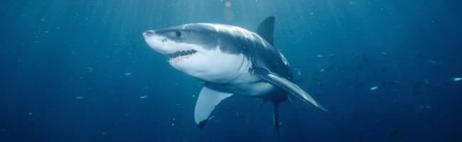 Y'a t-il un grand requin blanc près de chez vous ?