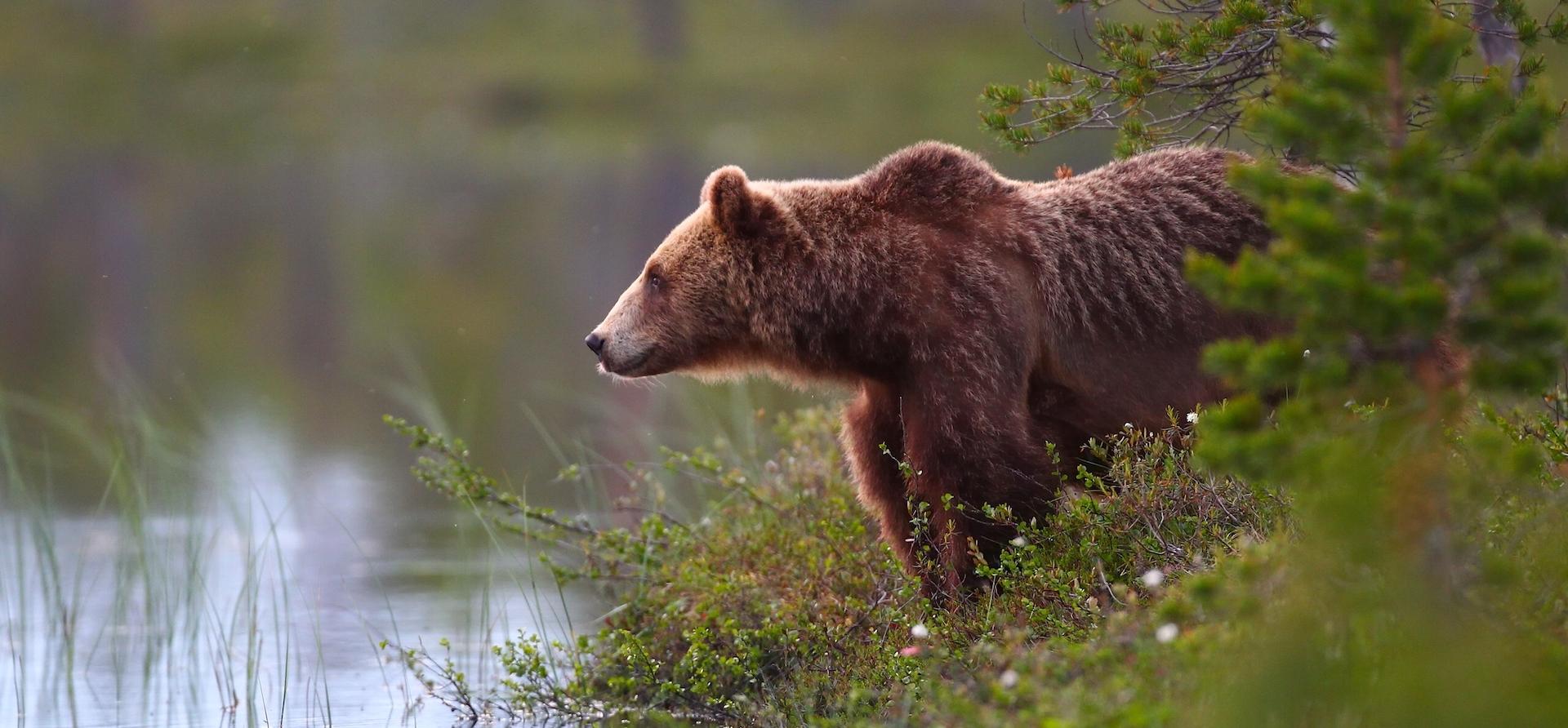 Si vous aimez mater des ours…