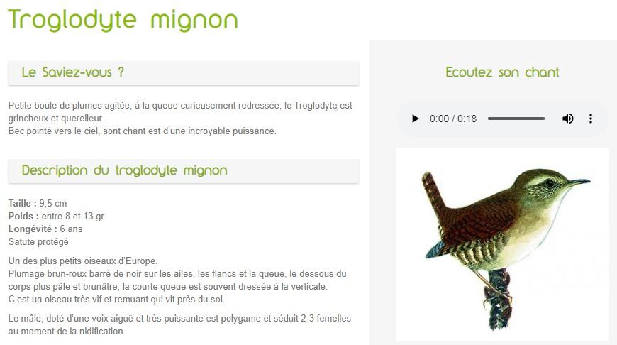 Troglodyte mignon - oiseau